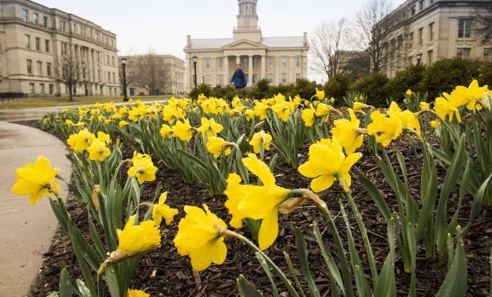 Daffodils in front of the Old Capitol Building.